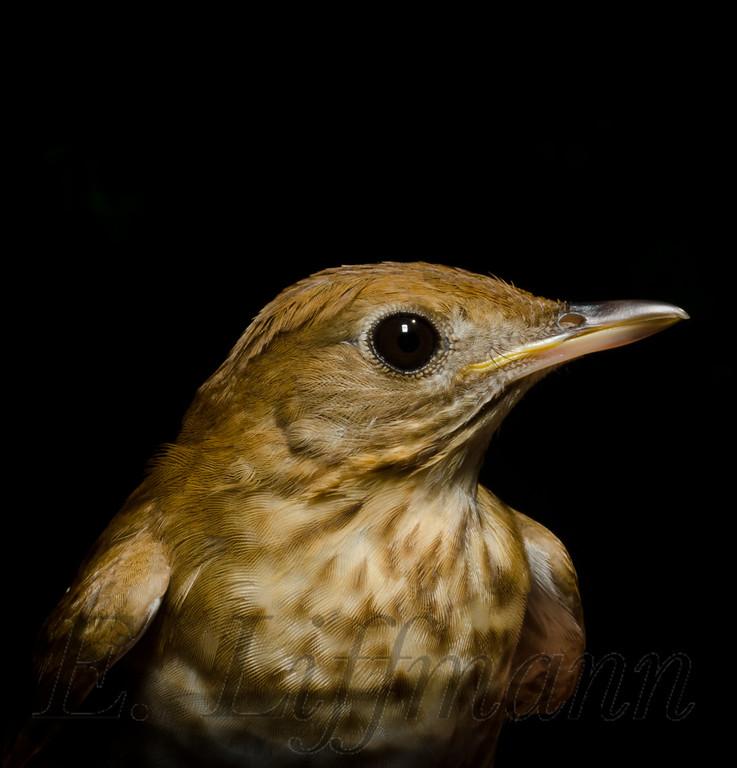 https://ericliffmann.smugmug.com/Other/Bird-Portraits/i-BHbDQBm/0/XL/DSC4230-XL.jpg