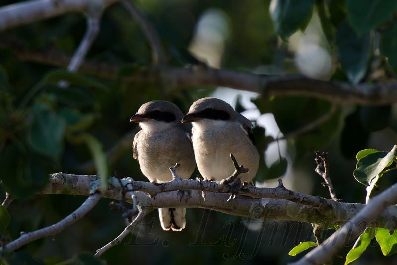 https://ericliffmann.smugmug.com/Other/Bird-Portraits/i-K4fndMw/0/L/DSC4258-L.jpg